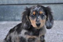 Puppy- blue merle <3