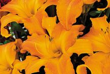 Garden Daylily-Lily  / Collection of daylillies and lillies / by Lawncare Plus Design~Landscaping Hardscaping Gardening