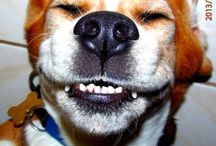 Legszebb beagle kutya mosoly galéria