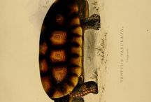 Sowerby & Lear - Tortoises, terrapins, and turtles: drawn from life (1872)