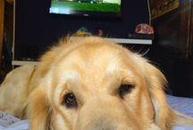 Trevor / Mascota trevor perro dog golden retriever