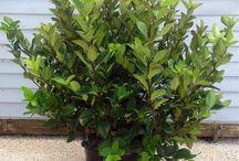 Plantas de Cerco