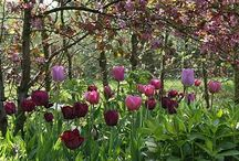 Tulipa Beauty / Tulipa bring colour to early and late spring, from small march flowering botanic species to tall fabulous multi colour may flowering beauties