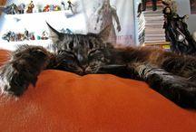 Cats / Cats, norwegian wildcats, lazy creatures