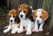 Câini Beagle
