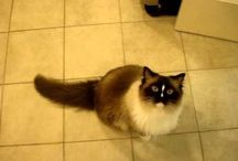Ragdoll Cat Meowing