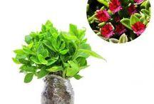Tanaman Gantung Bunga / Semua tanaman dalam board ini bisa dikirim keseluruh Indonesia, silahkan order ya, tel: 0341-599399 I SMS center: 08569020300 atau kunjungi website kami www.kebunbibit.id