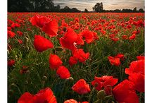 Poppies / Poppies