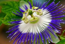 Flowers - Passiflora