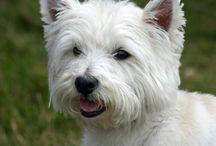 Hund / Westies