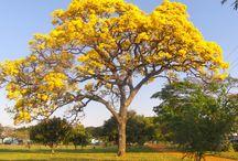 ÁRVORES TREES / Arvores Trees
