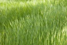 Lawn Care / The ideal time for planting grass seed to either establish a new lawn or renovate a poor quality one is the middle of August to the middle of September. During September grasses grow rapidly in the cool fall weather and have less competition from germinating weeds.