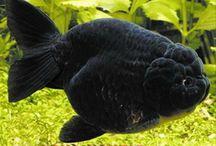 0 Oranda goldfish