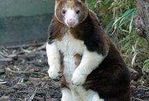Animals - Kangaroos