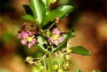 Phytothérapie / Découvrez toutes les plantes et leurs vertus médicinales.