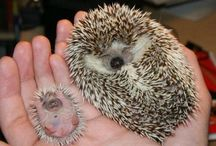 Hedgehogs, because I'm OBSESSED! / by Hannah Brothers