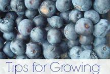 arándanos blueberries