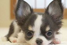 Chihuahua / by sadi fain