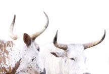 NGUNI CATTLE / Indigenous cattle of Africa