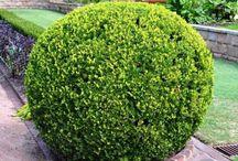 Best Evergreen Hedges