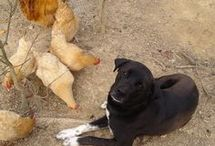 dogs protecting chickens