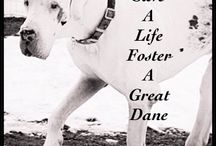 Fostering A MAGDRL Dane / Information about fostering a MAGDRL Great Dane