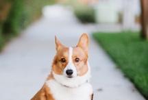 Corgie Dog