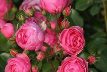 Les roses ... les plus belles