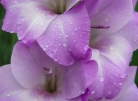 Purple and lavender Flowers