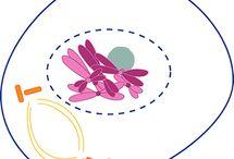 Podziały komórkowe MITOZA