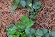Fruits & Vegetables - Mulch / Types of mulch that fruits & vegetables like