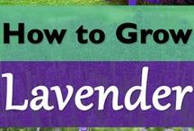 Lavender / Celebrating the beauty of lavender - the plant, the fragrance, the color, the essential oil...