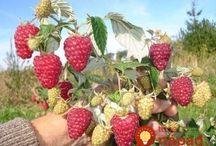 pěstování malin
