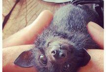 Animals - Bats