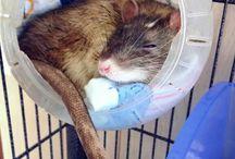 Rat DIY