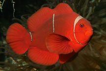 Saltwater Fish / Saltwater Fish Species