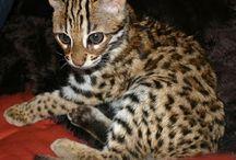 Marbled cat / Cat