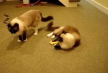 Seal Mitted Ragdoll Cats