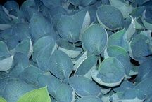 2016 PDN Hostas / Hostas are often touted as the best shade-loving plants for the perennial garden, which is hard to dispute. In cultivation, hosta plants readily mutate and have produced thousands of novel colors and leaf forms (blue hosta, gold hosta, and variegated hostas are the most popular)