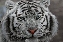 Tygrysy - zwierzeta