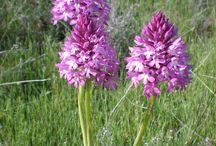flora silvestre sierra de Codés / Fotografías de flores silvestres