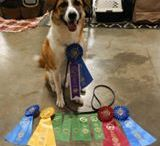 Proud To Be AKC / A compilation of American Kennel Club champion dogs proudly showing off their winnings.