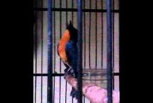 burung sulingan gacor