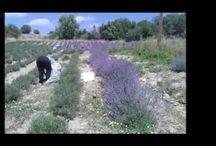 Βίντεο για τη λεβάντα / Δείτε μέσα σε δύο λεπτά τις ευεργετικές ιδιότητες και χρήσεις του αιθέριου ελαίου λεβάντας Watch video for beneficial properties and uses of lavender oil
