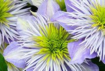 fiori veri