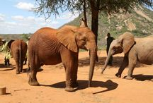 Umzug dreier Elefantenwaisen / Die Elefantenwaisen Orwa, Teleki und Bomani sind im Mai 2014 vom Waisenhaus in die Auswilderungsstation Ithumba umgezogen. Dies ist ein wichtiger Schritt auf ihrem Weg zu einem Leben in der Wildnis. Dort wurden sie von der Gruppe der Ithumba-Waisen begrüßt und in die Herde aufgenommen. Sie werden nun regelmäßig Ausflüge in den Nationalpark unternehmen, bis sie alt genug sind, um sich einer wildlebenden Herde anzuschließen. Werden Sie Pate:  www.aga-artenschutz.de/elefantenpatenschaft.html