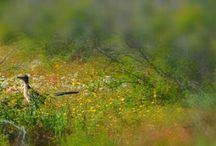 lobina negra