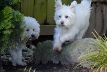 My Dogs (Lou & Dave) / The adventures of Lou & Dave.  Lou is a 10-year old Bichon Frise and Dave is 5 year old Maltese-Schnauzer mix.   / by Marvin Smith, Strategic Talent Sourcing Technologist