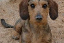 Dachshund wirehaired