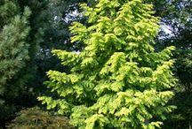 Metasequoia glyptostroboides-Kínai (ős-) mamutfenyő